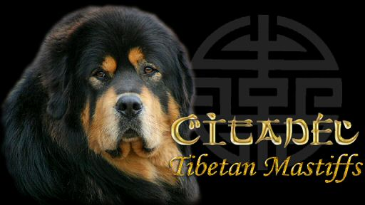 citadel tibetan mastiffs tibetan mastiff breeder