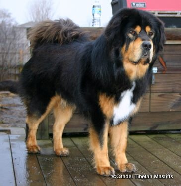 Citadel Tibetan Mastiffs :: Living With The Tibetan Mastiff